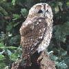 Tawny Owl, by Jill Pakenham