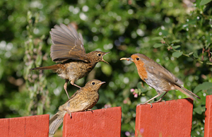 Young Robins being fed by John harding