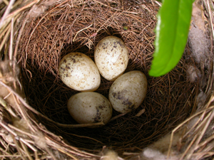 Whitethroat nest with four eggs by Mike Toms