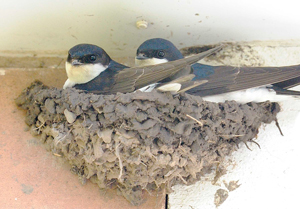 House Martins taking a break from nest building, by Doug Welch
