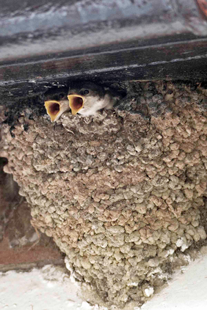 Young House Martins, by John Harding