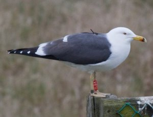 Tagged Lesser Black-backed Gull, photograph by David Crawshaw
