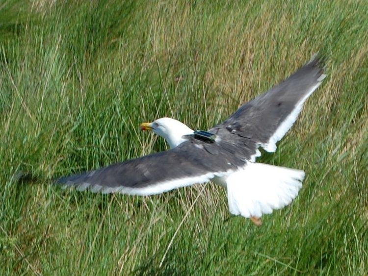 Newly tagged gull. Photograph by Niall Burton.