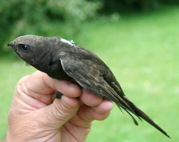 Tagged Swift (photo Paul Stancliffe)