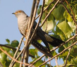 Follow a Cuckoo as it journeys to Africa - photo by Amy Lewis