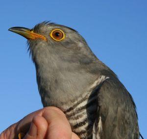 Kasper the Cuckoo