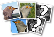 Name a Cuckoo - talk to us today