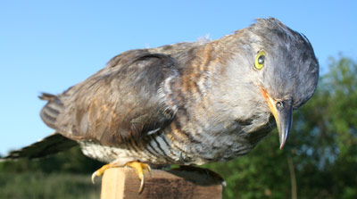 Stuffed female cuckoo