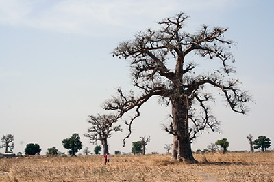 Baobab. Photograph by Phil Atkinson