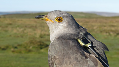 Cuckoo with satellite tag. Photograph by BTO