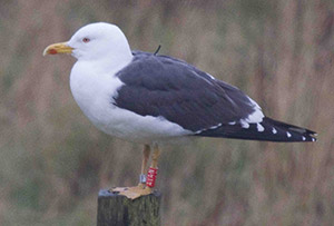 Tagged Lesser Black-backed Gull, March 2012, photograph by David Crawshaw