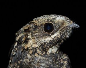 Nightjar, photograph by Jo Lashwood