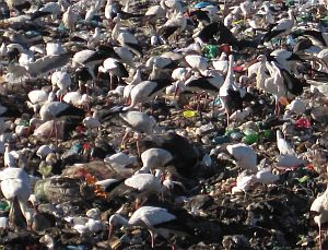 Storks on a rubbish dump in Portugal