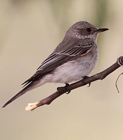 Spotted Flycatcher by Mark R Taylor