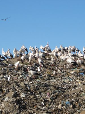 White Storks on landfill sites in winter in Portugal