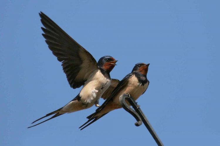 Swallows (Jill Pakenham)