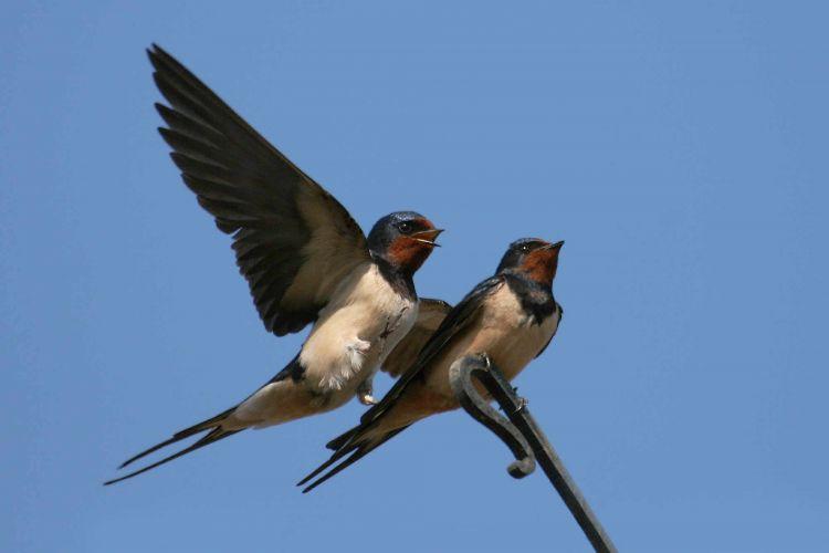 Swallows. Photograph by Jill Pakenham