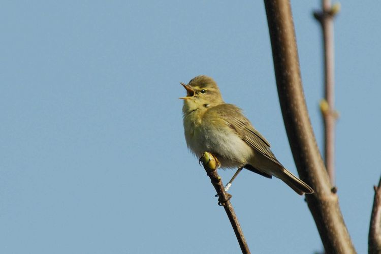 Willow Warbler (Neil Calbrade)