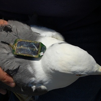 Lesser Black-backed Gull with GPS tag. Photograph by Niall Burton