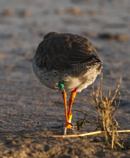 Colour-ringed Redshank (Alan Gravell)