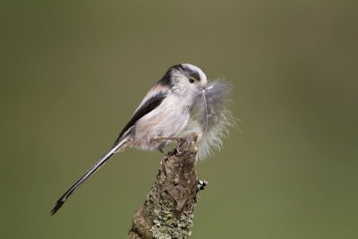 Long-tailed Tit by Edmund Fellowes