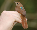 Nightingale fitted with geolocator by Philipp Sprau