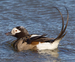 Long-tailed Duck by Edmund Fellowes
