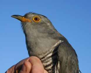 Kasper the Cuckoo, one of five tagged with a satellite-tracking device