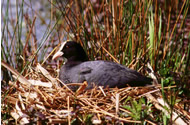 Coot by Geoge Higginbotham