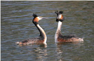 Great Crested Grebes by Jill Pakenham