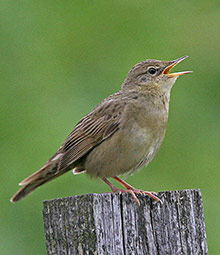 Grasshopper Warbler. Photograph by Ron Marshall