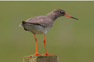 Redshank by Jill Pakenham