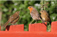 Robins by John Harding