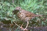 Song Thrush by Tommy Holden