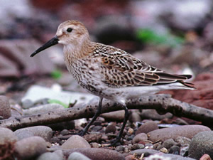 Dunlin by Tommy Holden