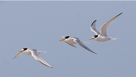 Little Tern by Sean Gray www.grayimages.co.uk