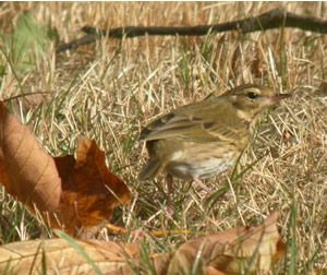 Olive-back Pipit by Dawn Balmer