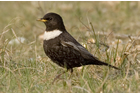 Ring Ouzel by Chris Mills