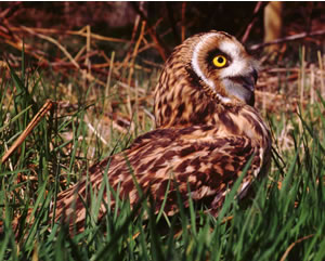 Short-eared Owl by Edward Charles Photography