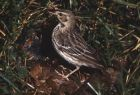 Tree Pipit by John Bowers