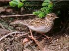 Woodlark by Derek Belsey