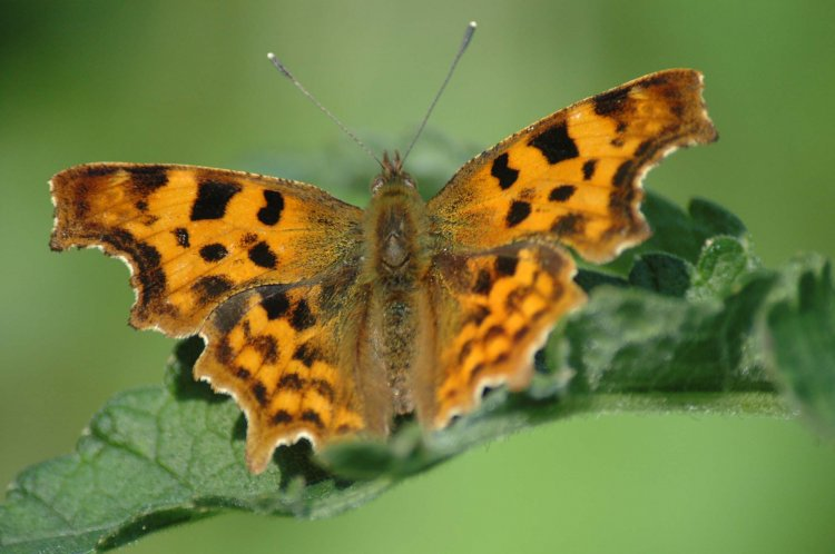 Comma butterfly on a leaf. Photograph by Neil Calbrade
