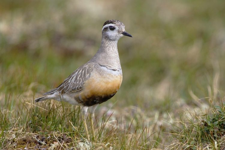 Dotterel (Edmund Fellowes)