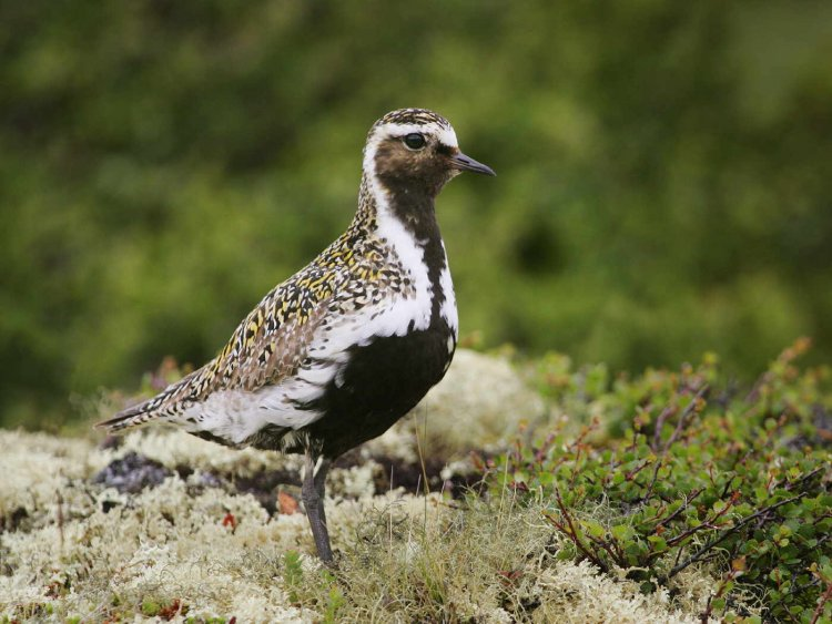 Golden plover. Photograph by Edmund Fellowes