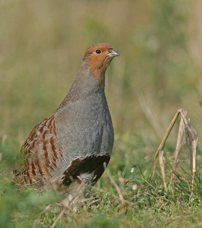 Grey Partridge. Photograph by Ron Marshall