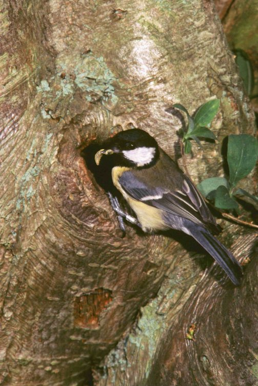 Great tit at natural cavity. Photograph by Kevin Carlson