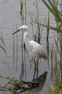 Little Egret (John Harding)