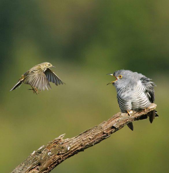 Cuckoo mobbed by Meadow Pipit by Edmund Fellowes