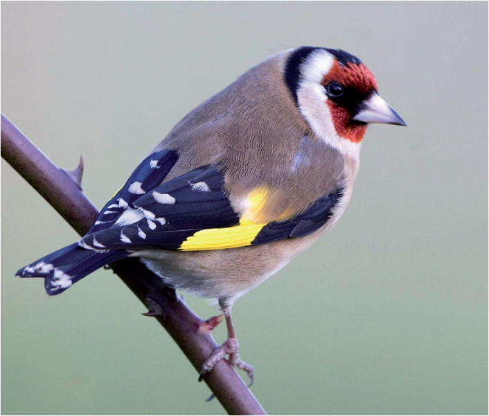 Goldfinch by John Harding