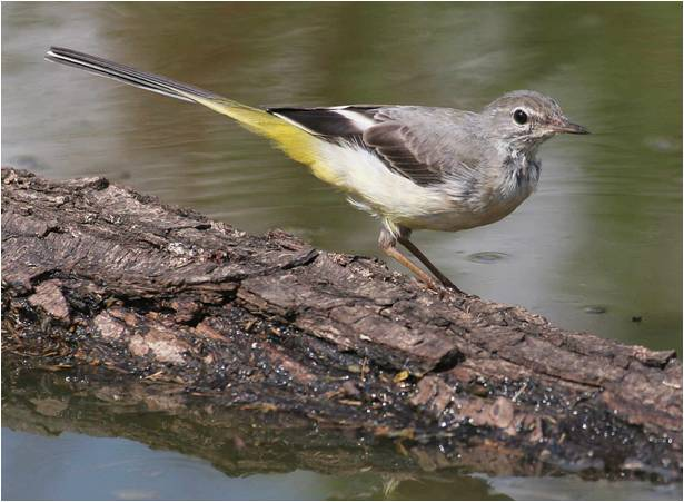 Grey Wagtail by Jill Packenham